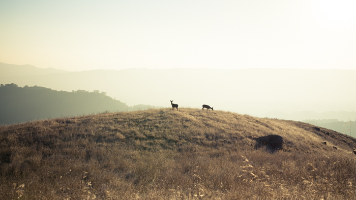 Cerfs à Mount Diablo, Californie