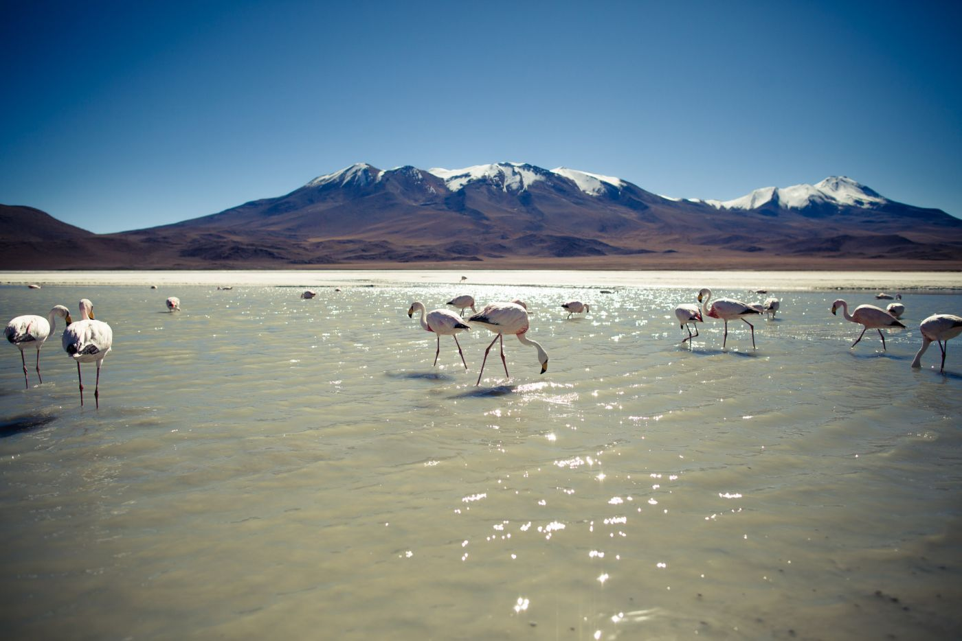 Flamants roses, Laguna Cañapa, Bolivie
