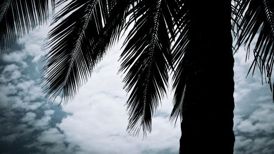 The coconut trees of Kribi.
