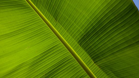What a beauty than a banana tree leaf (especially when you're in love with green like I am :p ).
