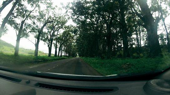 Eucalyptus tunnel, Koloa, Kaua'i, Hawai'i