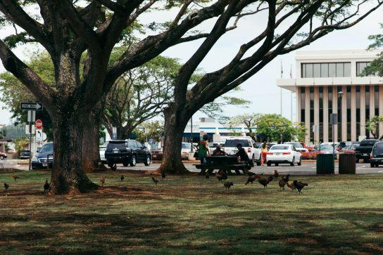 Chickens in a park, Lihu'e, Kaua'i, Hawai'i