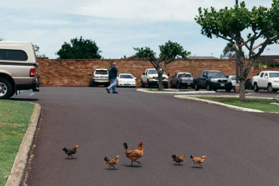 Chickens, Lihu'e, Kaua'i, Hawai'i