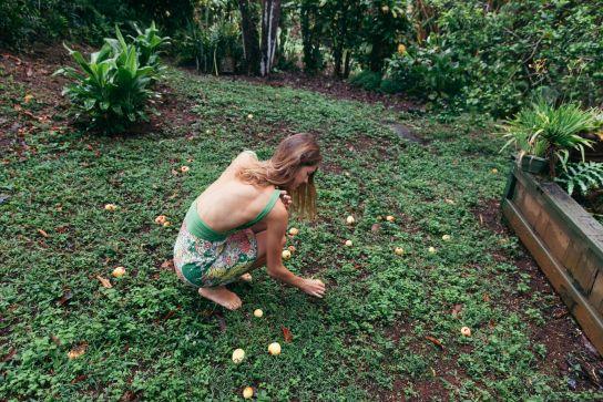 Picking guavas, Koloa, Kaua'i, Hawai'i