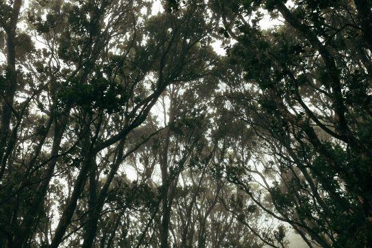 Mist in the trees, Kalalau Valley, Koke'e State Park, Kaua'i, Hawaii