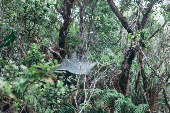 Big spiderweb, Kalalau Valley, Koke'e State Park, Kaua'i, Hawaii