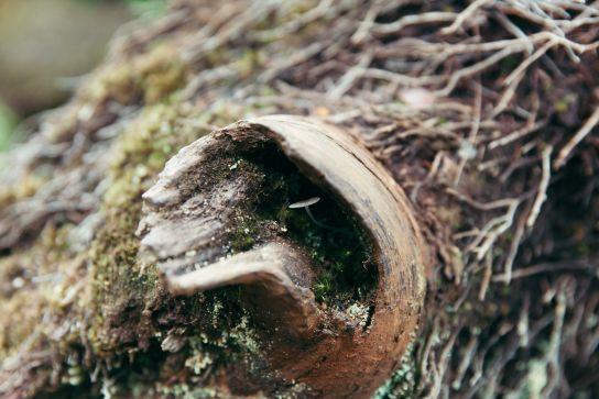 Mushroom in tree trunk, Koke'e State Park, Kaua'i, Hawaii