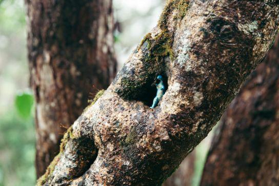 Dinosaure dans un arbre, Alakai Swamp, Koke'e State Park, Kaua'i, Hawaii